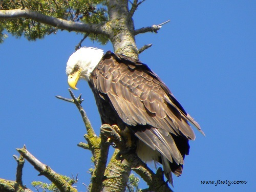 EAGLES... Vancouver's Lower Mainland abounds with them.